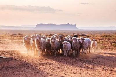 sheep_mesa.jpg