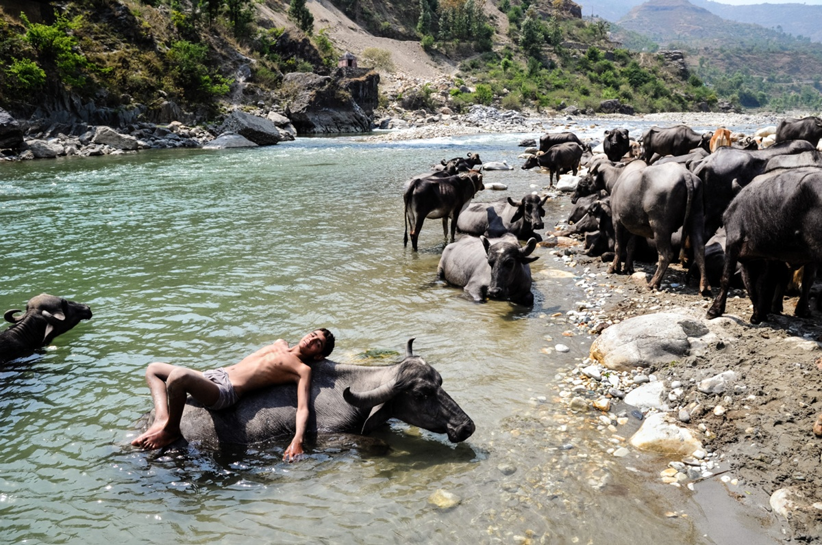 water_buffalos.jpg